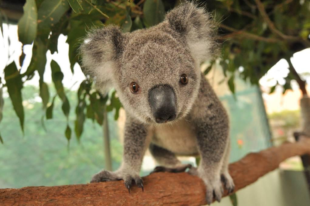 September is Save the Koala month for the Australian Koala Foundation |  Great Lakes Advocate | Forster, NSW